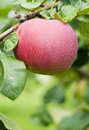 Red Apple on the Tree Royalty Free Stock Photo