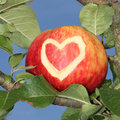 Red apple in the tree with carved heart shape Royalty Free Stock Photo