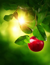 Picture : Red apple on a tree tree  half
