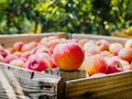 Red apple on a wooden palot in the field of apple trees Royalty Free Stock Photo