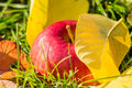Red apple among yellow leaves on grass green Royalty Free Stock Photos
