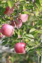 Red apples on apple tree branch Royalty Free Stock Images