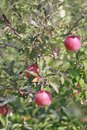 Red apples on apple tree branch Stock Image