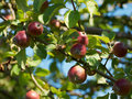 Red apples on branch bunch of rippen a of a tree Royalty Free Stock Photo