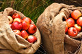 Red apples in burlap bags or sacks filled with outside the green grass Stock Image