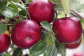 Red apples close up photo of Royalty Free Stock Photo
