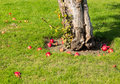 Red apples fall to ground around tree on young apple in orchard lawn as they ripen Stock Photos