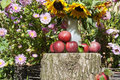 Red apples in the garden under sunflowers Royalty Free Stock Photo