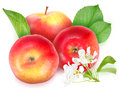 Red apples with green leaf and flowers Royalty Free Stock Photography