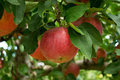 Red Apples growing on an Apple Tree Royalty Free Stock Photo