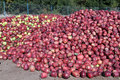 Red apples heaps of near fence of orchard Royalty Free Stock Photography
