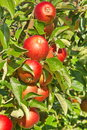 Red apples surounded by green leaves in luxembourg Royalty Free Stock Photos