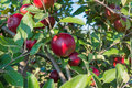 Red apples on the tree delicious surrounded by s green leaves Royalty Free Stock Photography