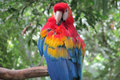 Red Ara Parrot Royalty Free Stock Photo