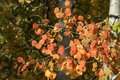 Red and orange aspen leaves Royalty Free Stock Photo