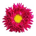 Red Aster Flower Isolated On W...