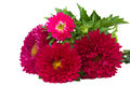 Red aster flowers Stock Images