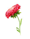 Red aster watercolor image of with stem Stock Image