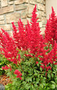Red Astilbe (False Spirea) Royalty Free Stock Photo