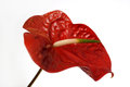 Red athurium flower anthurium against white background studio Stock Photos