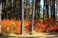 Red autumn foliage fall shrubs surrounding tree trunks Stock Image
