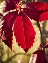 A red autumn leaf backlit. Royalty Free Stock Photo