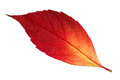 Red autumn leaf close up of isolated on white background Stock Photography