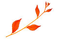 Red autumn leaf elm on white background Royalty Free Stock Photo