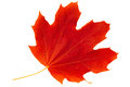 Red autumn leaf maple on white background Stock Photography