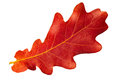 Red autumn leaf oak on white background Royalty Free Stock Photo
