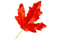 Red autumn leaf poplar on white background Stock Image