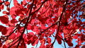 Red autumn leaves with blue sky colorfull background autumn Royalty Free Stock Photos