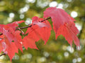 Red Autumn Leaves on Branch with Bokeh Royalty Free Stock Photo