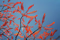 Red autumn leaves of a stag s horn sumac tree against blue sky Royalty Free Stock Photography