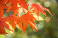 Red Autumn Leaves on Tree Stock Image