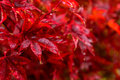 Red autumn leaves under the rain Royalty Free Stock Photo