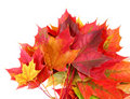 Red autumn maple foliage Royalty Free Stock Photography