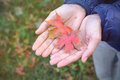 Red autumn maple leaves fall in hands Royalty Free Stock Photo