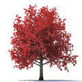 Red autumn maple tree isolated on white. 3D illustration Royalty Free Stock Photo