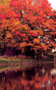 Red autumn tree near the lake Stock Photography