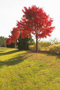 Red autumn trees in country Stock Image