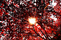 Red autumnal leaves in the sunshine Royalty Free Stock Image