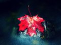 Red autumnal maple leaf in water. Dried leaf caught on stone Royalty Free Stock Photo