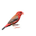 Red Avadavat bird Royalty Free Stock Photo