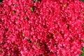 Red Azalea Blooms In Spring