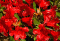 Red Azalea in springtime. Stock Photography