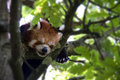 Red Baby Panda sleeping on a tree - close-up Royalty Free Stock Photo