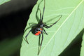 Red back widow spider latrodectus hasseltii in japan Royalty Free Stock Images