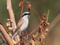 Red backed Shrike Royalty Free Stock Photos
