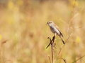Red backed shrike on branch lanius collurio Stock Images